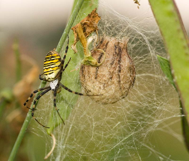 Wasp spider with cocoon