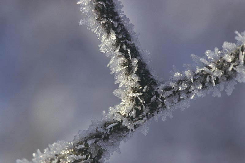 Frost on twig
